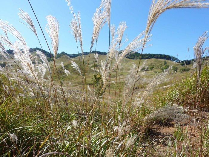 Silver grass
